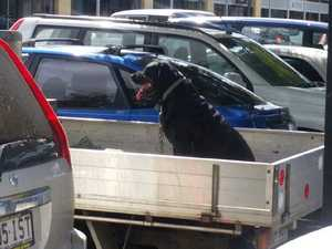 SHOCKING: Dog filmed in the back of ute in hot weather