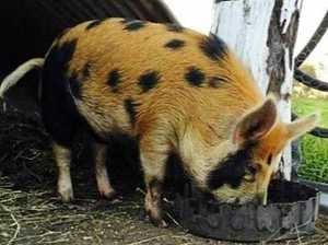 Curious case of missing ginger pig