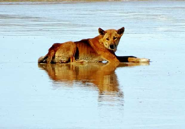 """dingoes to cull or not to Dead dingoes: not good for the ecosystem  """"baiting programs,"""" which allow  farmers, not just wildlife officials, to lay poisoned bait to kill them."""