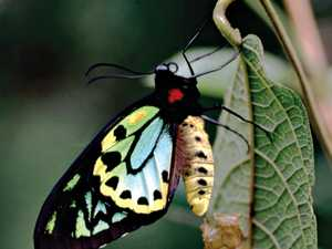 The endangered Richmond birdwing butterfly.