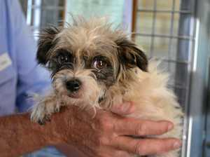 PUPPY DOG EYES: This female foxy terrier cross is very friendly and while she's at times exciteable, she grows quiet with contentment when cuddled. She is thought to be between three and four years old.