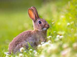 'Not cute': new calicivirus weapon in feral rabbit war