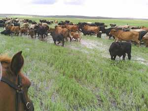 Craig mustering cattle off the marine plain at their Marlborough property about and hour and a half north of Rockhampton