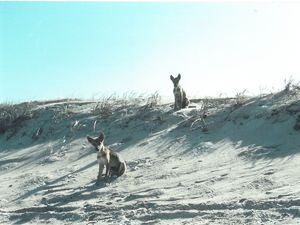 Back to the Future and the Fraser Island dingo