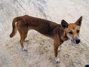 Fraser Island dingo management under scrutiny