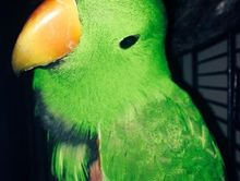 Found Green eclectus parrot