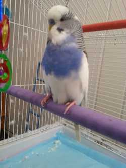 Blue/White or Purple/White Baby hand-reared budgie wanted
