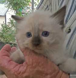 PUREBRED Ragdoll Kittens, M&F, Ready now, Vaccinated, Chipped & wormed, $300ea Ph:0267522...