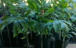 1 ft tall sun-hardened  bare-rooted 4 for $20 Ph 0647858047/ 41526411