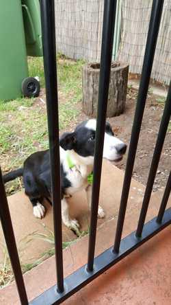 Male puppy found, very friendly. Wilsonton Heights area.