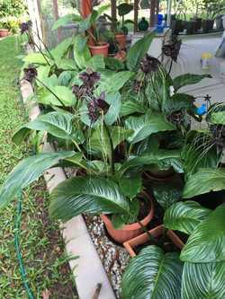 Bat Plants, Bromeliads and Bargain Household Paraphernalia. Sat 4th March from 0700 96 Bundilla Boul...