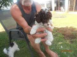 2 female parti pups white with choc wormed vac and mc very friendly and out going