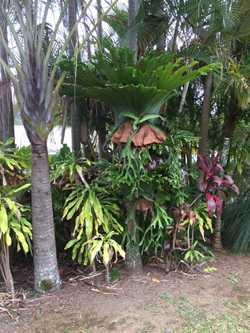 Huge range of staghorn and elkhorn plants -  mounted,  natural logs, some huge staghorns still on tr...