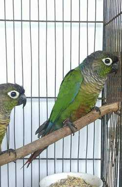 aviary males