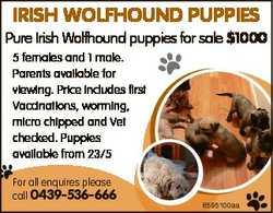 IRISH WOLFHOUND PUPPIES Pure Irish Wolfhound puppies for sale $1000 5 females and 1 male. Parents av...