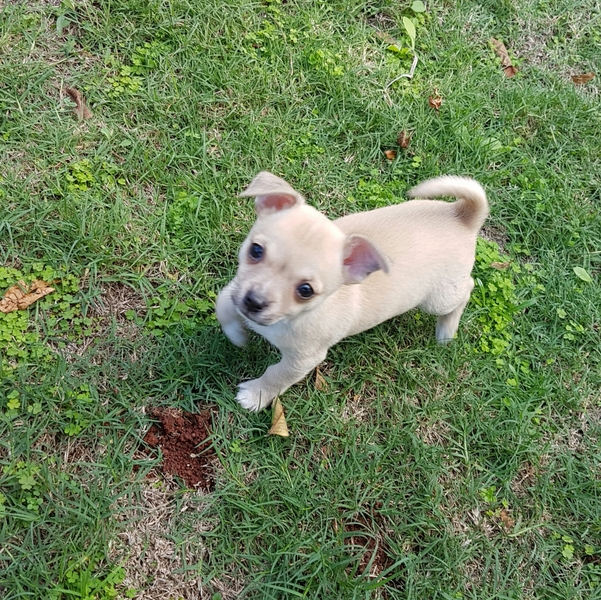 1 female 1 male, short haired, smooth coat, beautiful playful puppies, vet checked, vaccinated, micr...