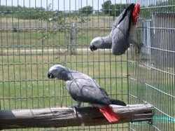 Lovely  birds ready to go to any home willing to take them  Cotanct for pricing and photos