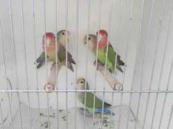 green peach face love birds $15ea, salmon brow  $30ea