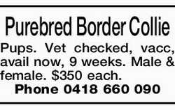 Purebred Border Collie Pups.   Vet checked, vacc, avail now, 9 weeks. Male & female. $350...