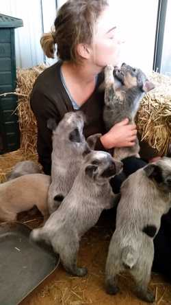 Stumpy & Long-Tailed, Blue & red females & males, immunised, wormed & chipped. Breeder No BIN0000928...