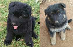 PURE German Shepherd pups,  born 25/6  ready 20/8,  5m 3f,  purebla...