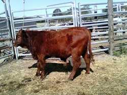 Santa Gertrudis Bull 12 mths quiet $800 Lismore 6624 2413 0438 646 357