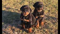 ROTTWEILER pups,