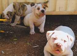 P/B Aussie Bull Dogs    4x F  4x M,  vac./mic. vet checked.  $1500 negot. ...