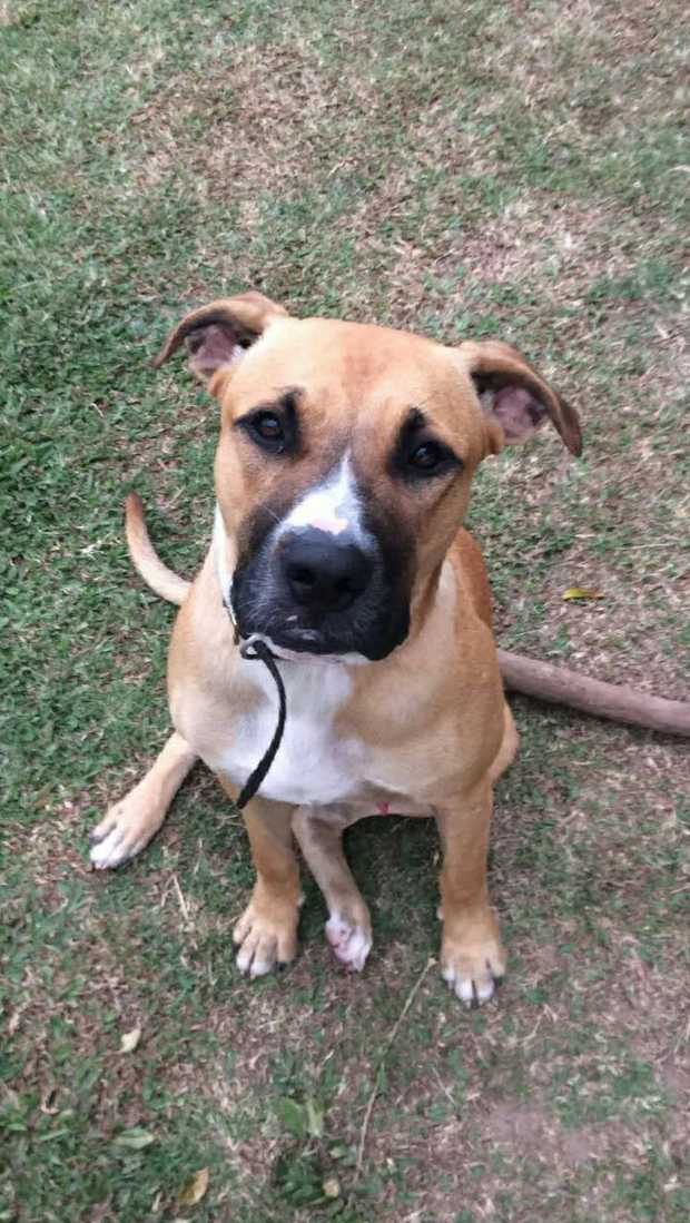 Tobanna or Helens Hill Area    Tan with white distinctive white marking on nose.   Boxer...