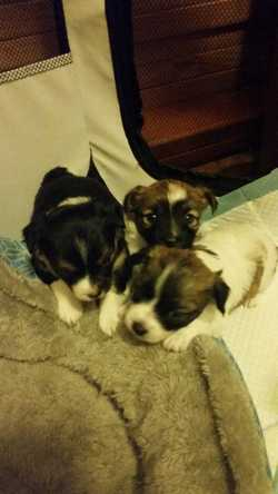 Beautiful foxchoww pups for sale. Mother is a pure bread short legged mini foxi and farther is pure...