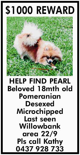 $1000 REWARD HELP FIND PEARL Beloved 18mth old Pomeranian Desexed Microchipped Last seen Willowba...