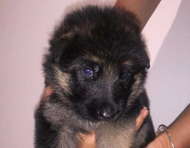 We are offering our litter of beautiful GSD pups BIN 00019399347492 DOB: 12/11/17 SEX: 3 x Female 2...