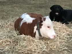 MAY a is 6mth heifer missing from Stumm Rd since Saturday 9/12. Much loved pet. We love this girl...