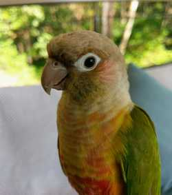 "LOST - Have you seen ""Bob"" ??? Our Pineapple Cheeked Conure. She escaped from her cage on Thursday 2..."