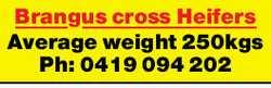 Brancus cross Heisers    Average weight 250kgs