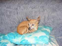Brown elder chihuahua found Harlaxton area Please ph 0418737068
