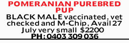 POMERANIAN PUREBRED PUP