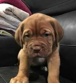 (French mastiff) 3 gorgeous healthy girls Perfect family pet light brown $2000 vacc, wormed...