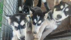 Siberian Husky Puppies  15 wks 2 males  2 females microchip  2 lots vaccination done  wormed and vet...