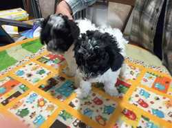 PARTY TOY POODLES 