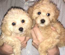 CAVOODLE PUPPIES   2 male, Microchipped and vaccinated. BIN 0001749679177.   $2500. Avail...