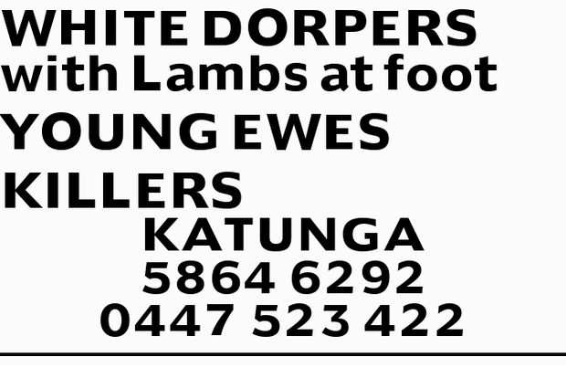 WHITE DORPERS with Lambs at foot YOUNG EWES KILLERS KATUNGA 58646292 0447523422