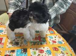 TOY POODLES 12 weeks, White and Black, 3M, 2F, MC,