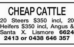 CHEAP CATTLE   20 Steers $350 incl, 20 Heifers $350 incl, Angus & Santa X.   Lismore...
