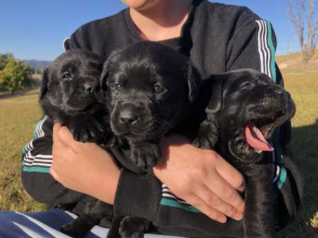 <p> 1 Black Male 1 Black female Long, healthy line. For further information Available now!