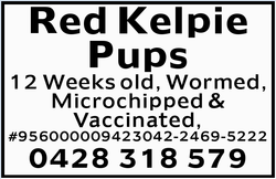 Red Kelpie Pups
