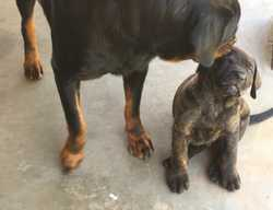Male Rotty X Pup 8 Weeks Vac & Microchipped $200 Ph 0410 227 445