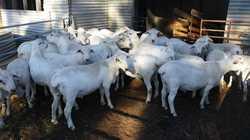 Australian White Rams Good genetics, 2017 drop, ready to work. $1,000 each, Inspection welcomed,...