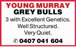 YOUNG MURRAY GREY BULLS