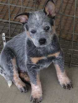 PURE Breed Blue Heeler Male Pup. Can view both parents and parents have their reg papers, kind, l...